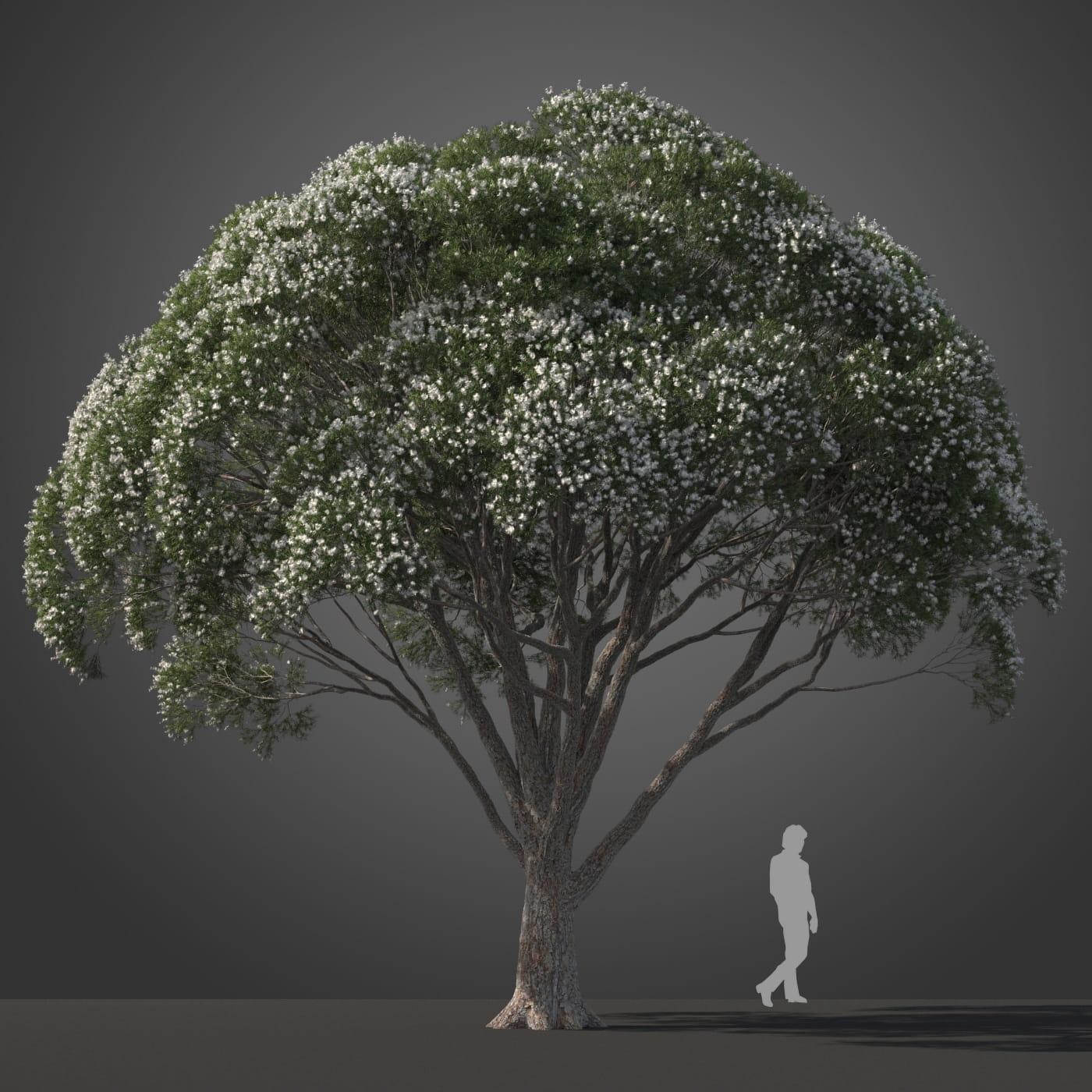 Melaleuca linariifolia tree 9 AM210 Archmodels