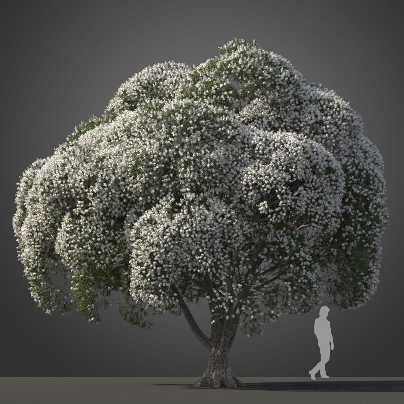 Melaleuca linariifolia tree 10 AM210 Archmodels