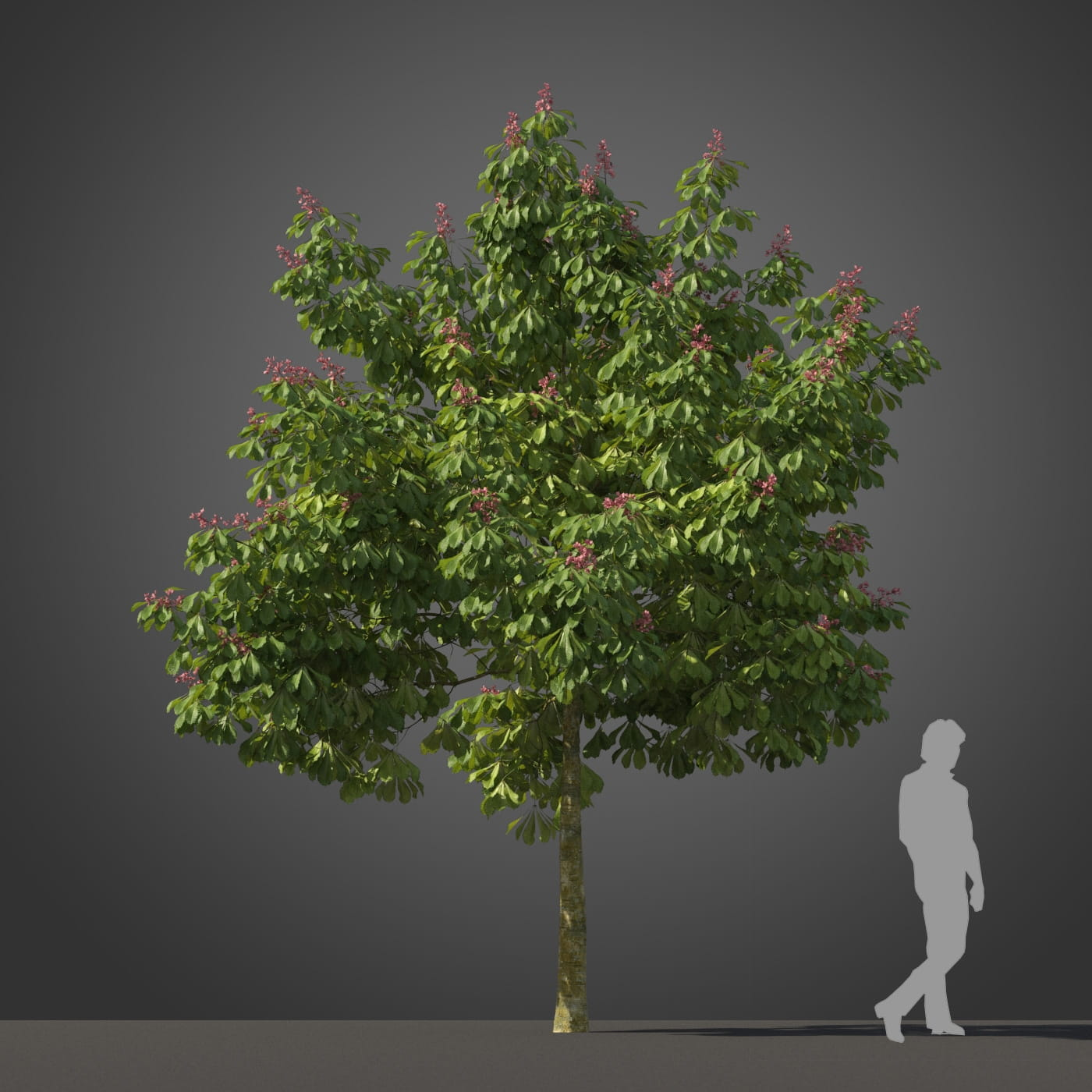 Aesculus pavia 'Koehnei' tree 18 AM210 Archmodels