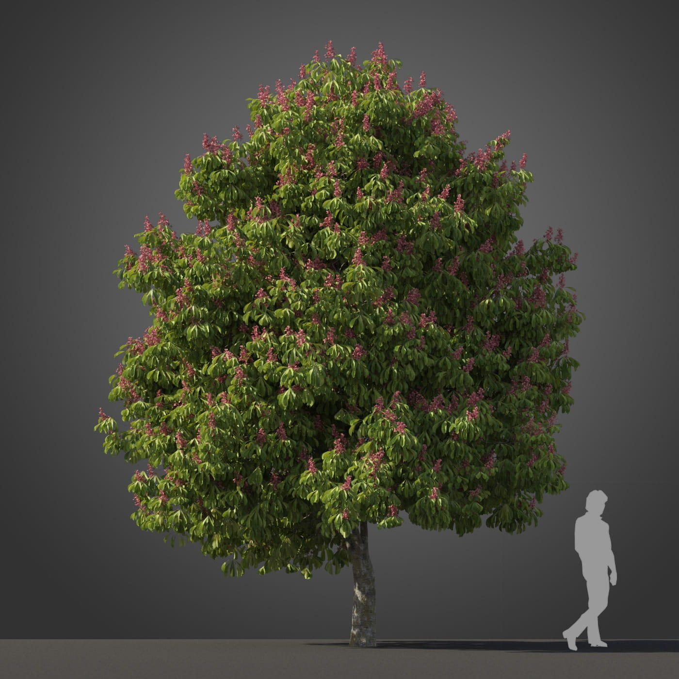 Aesculus pavia 'Koehnei' tree 19 AM210 Archmodels