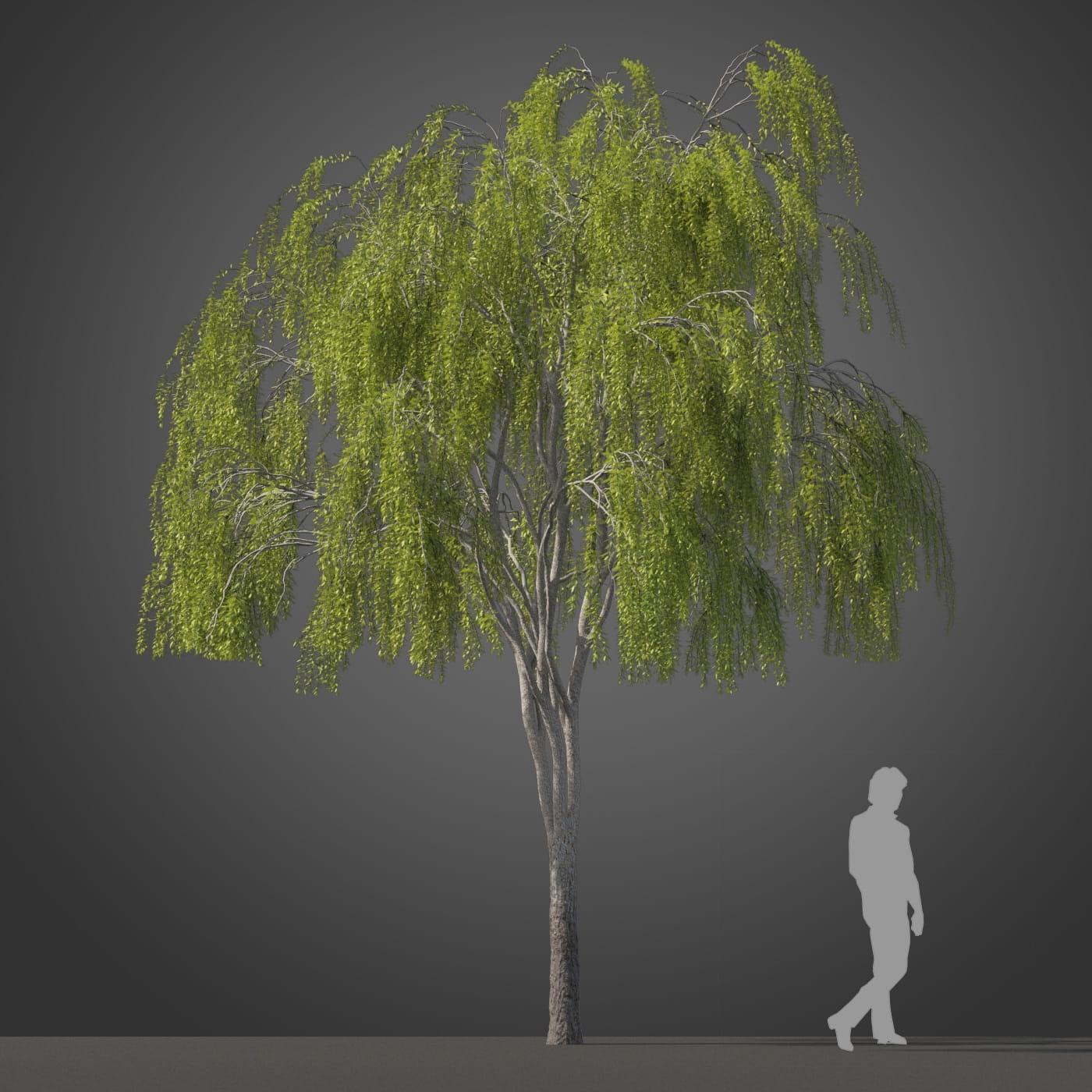Maytenus boaria tree 20 AM210 Archmodels