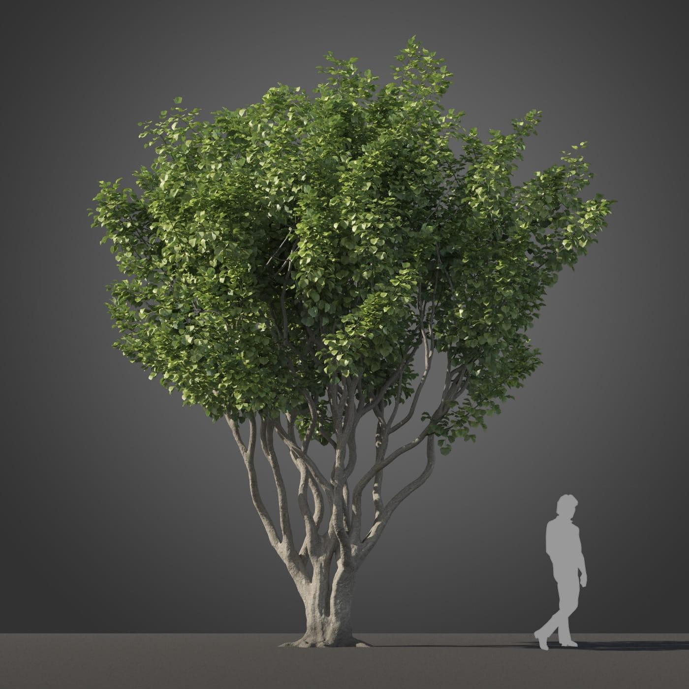 Ficus benjamina tree 27 AM210 Archmodels