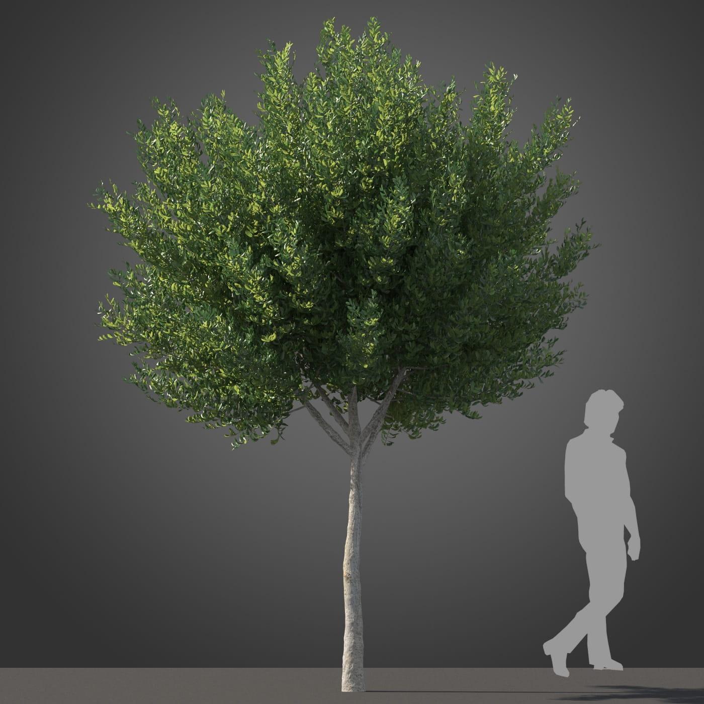 Cupaniopsis tree 30 AM210 Archmodels