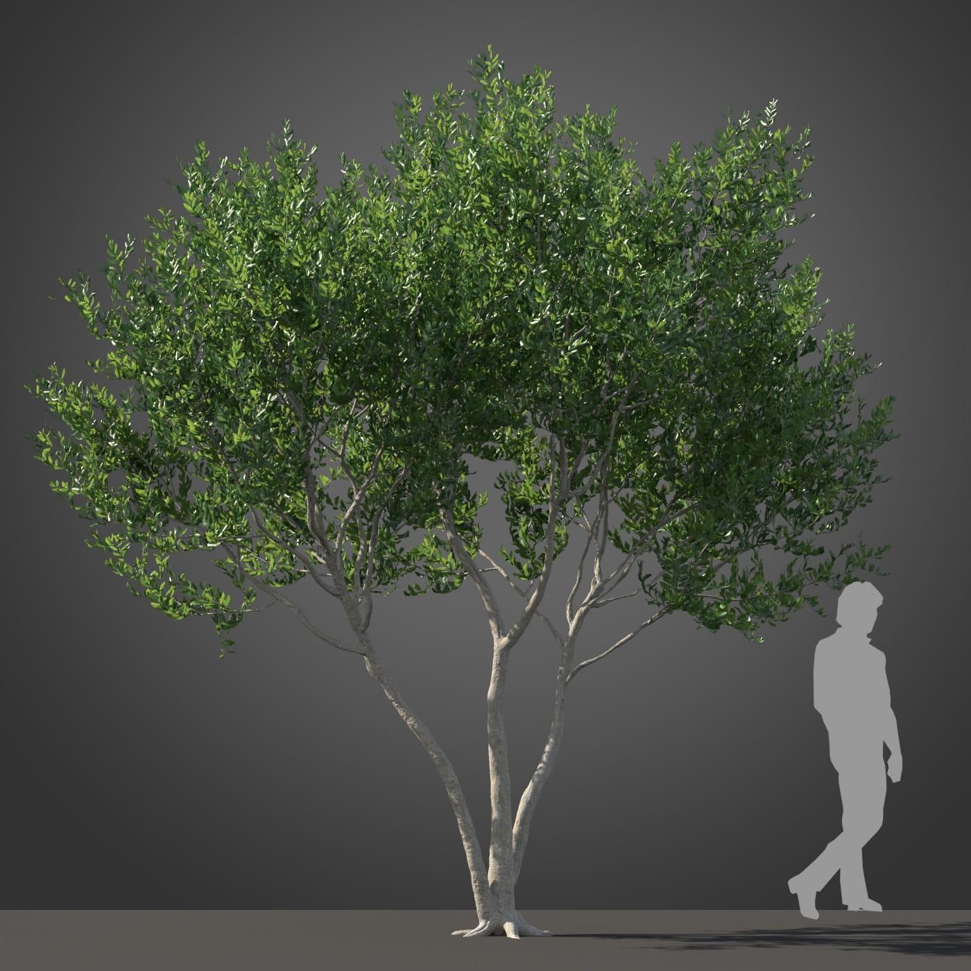 Cupaniopsis tree 31 AM210 Archmodels