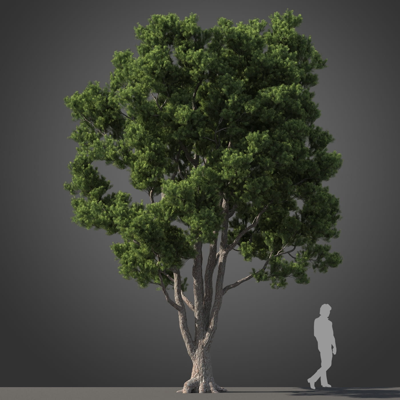 Podocarpus tree 32 AM210 Archmodels