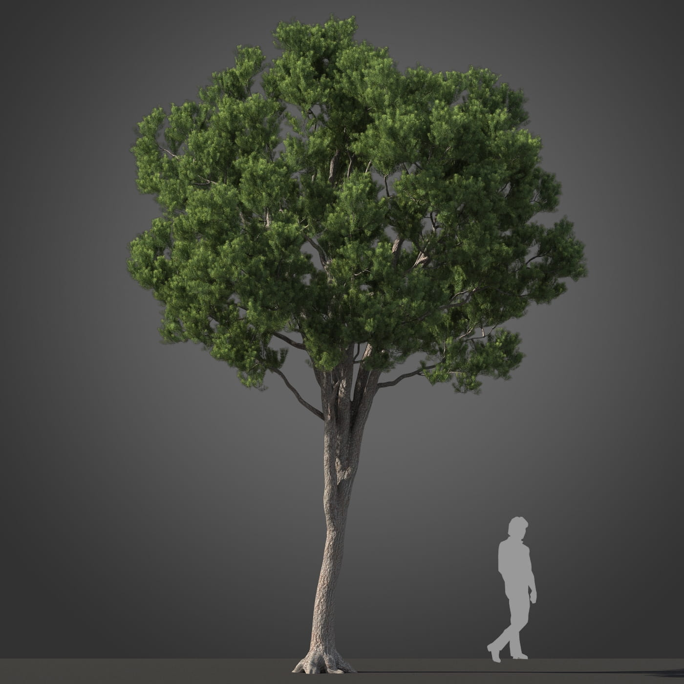 Podocarpus tree 33 AM210 Archmodels
