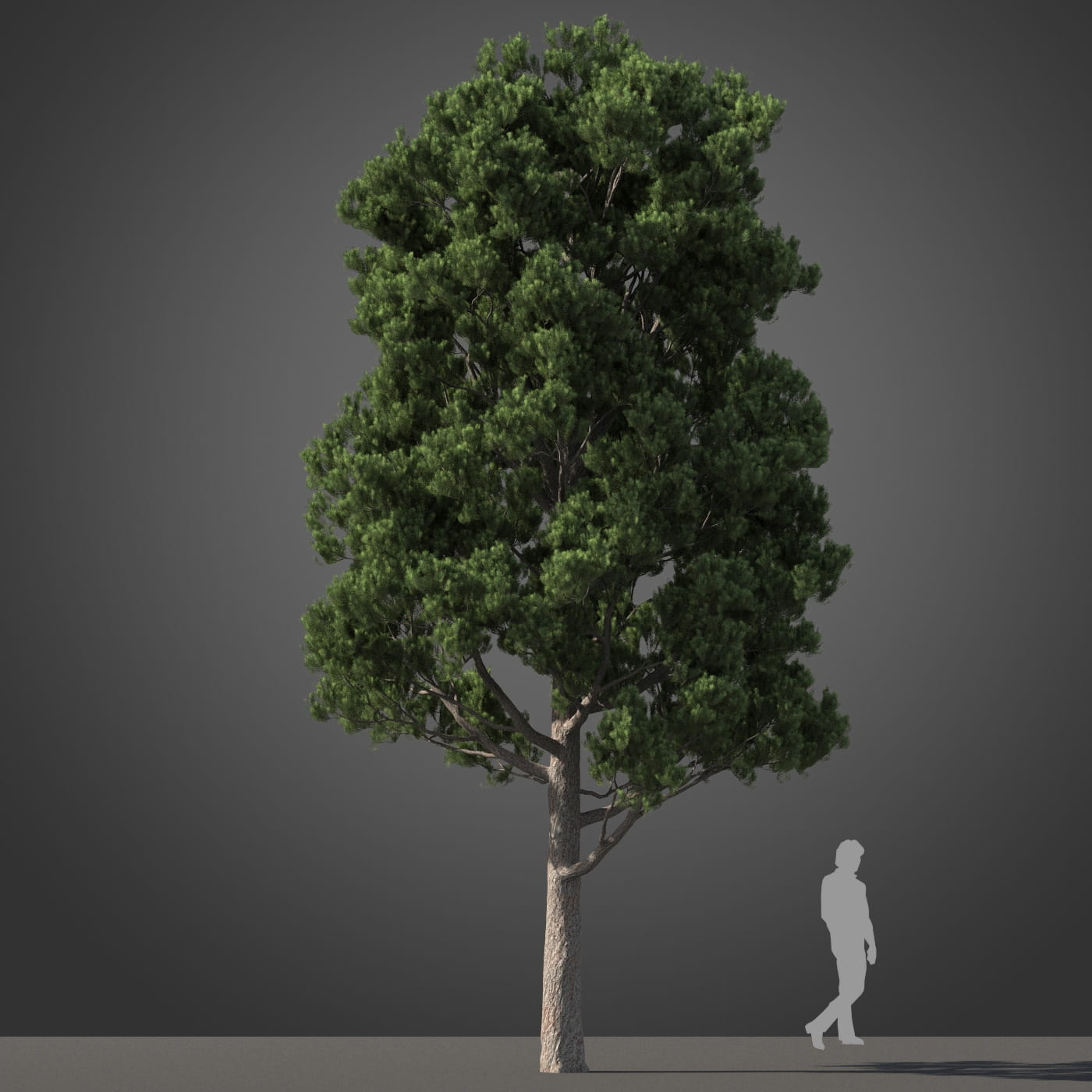 Podocarpus tree 34 AM210 Archmodels
