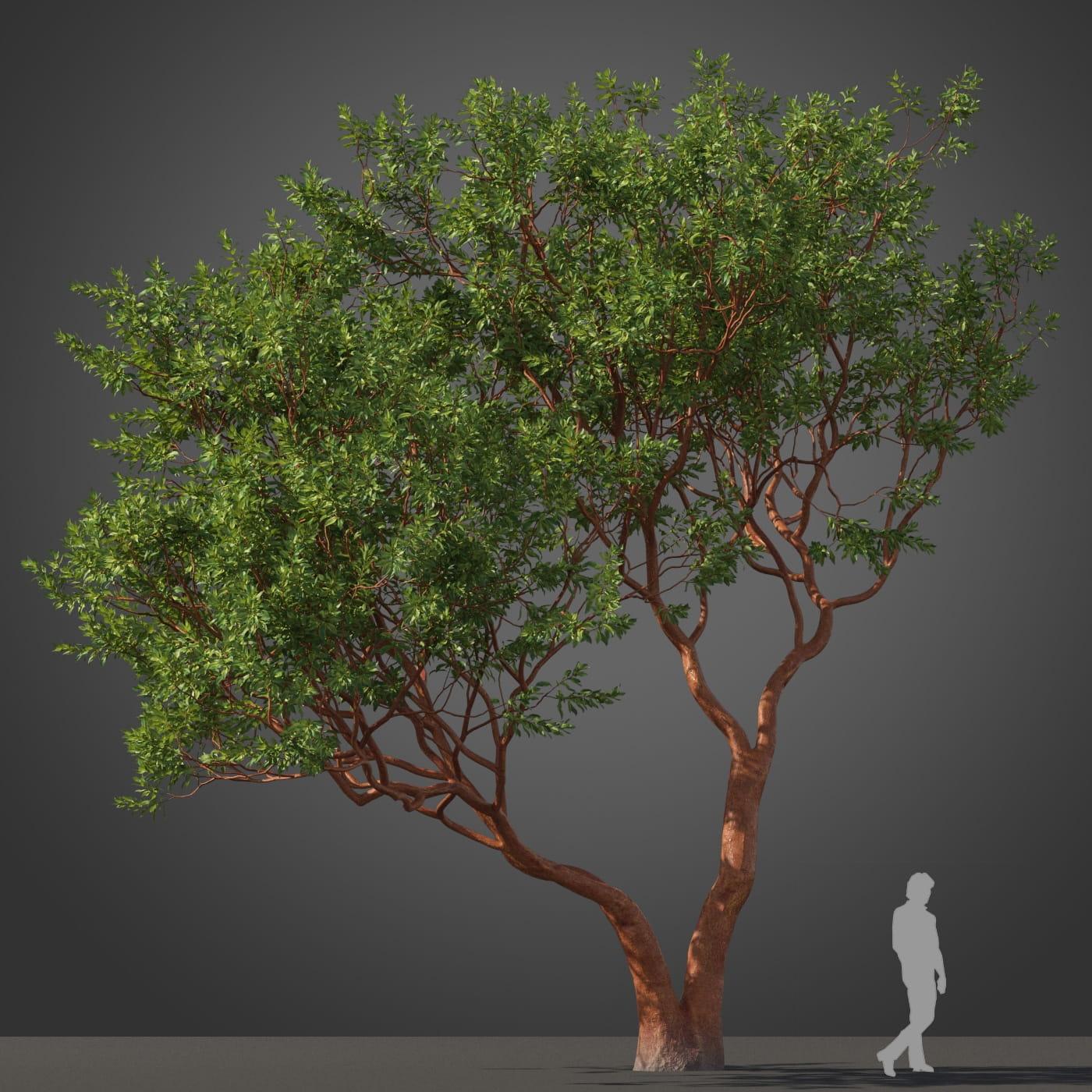 Arbutus 'Marina' tree 38 AM210 Archmodels