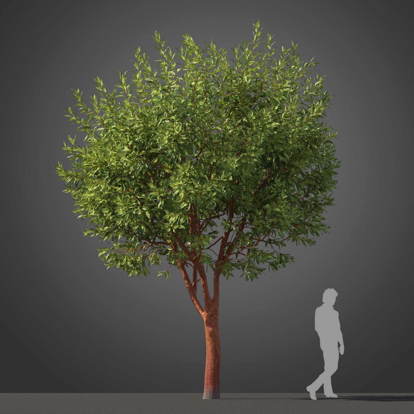 Arbutus 'Marina' tree 40 AM210 Archmodels