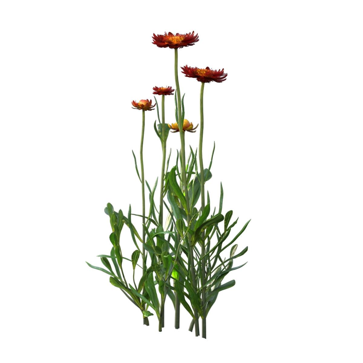 Helichrysum bracteatum 22 AM214 Archmodels