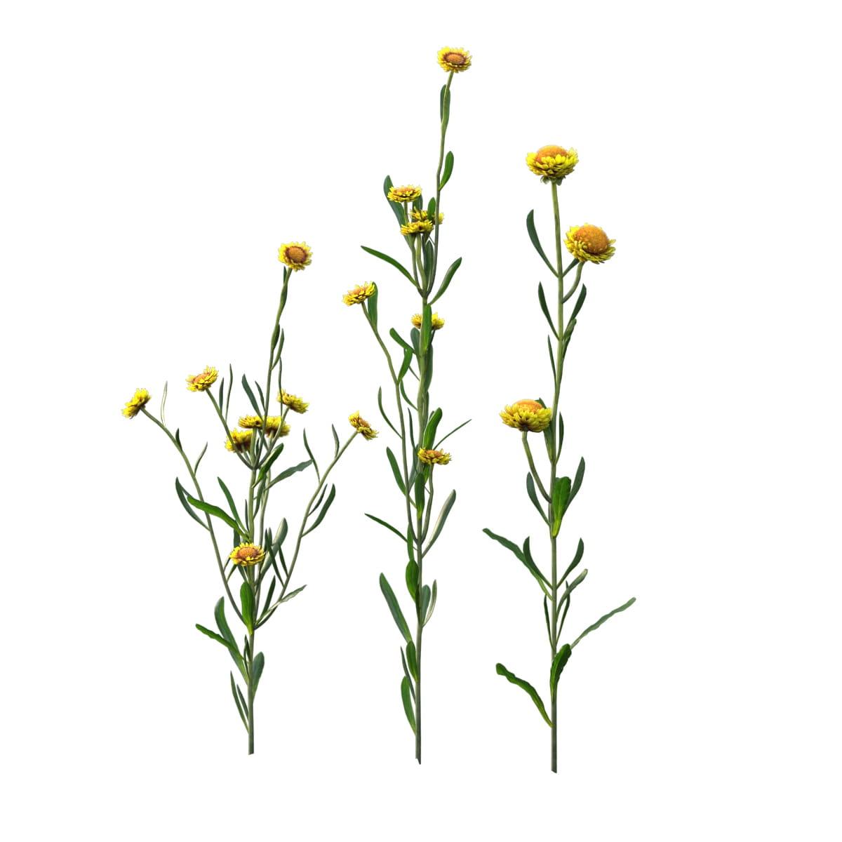 Helichrysum bracteatum 23 AM214 Archmodels