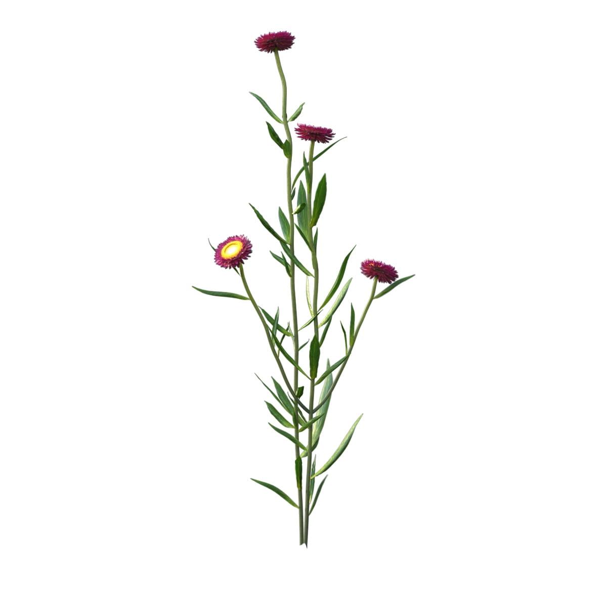Helichrysum bracteatum 24 AM214 Archmodels