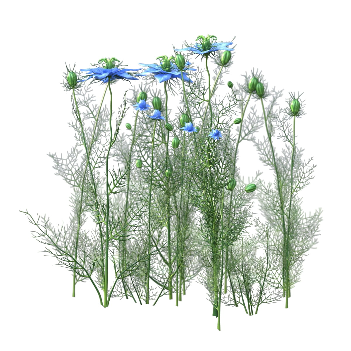 Nigella sativa 34 AM214 Archmodels