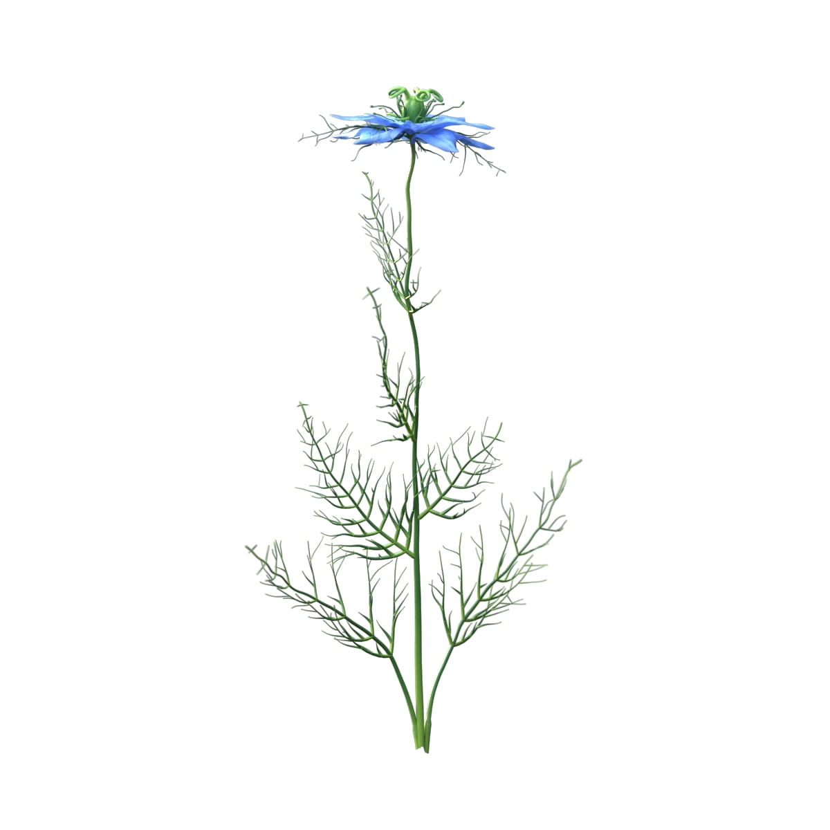 Nigella sativa 36 AM214 Archmodels