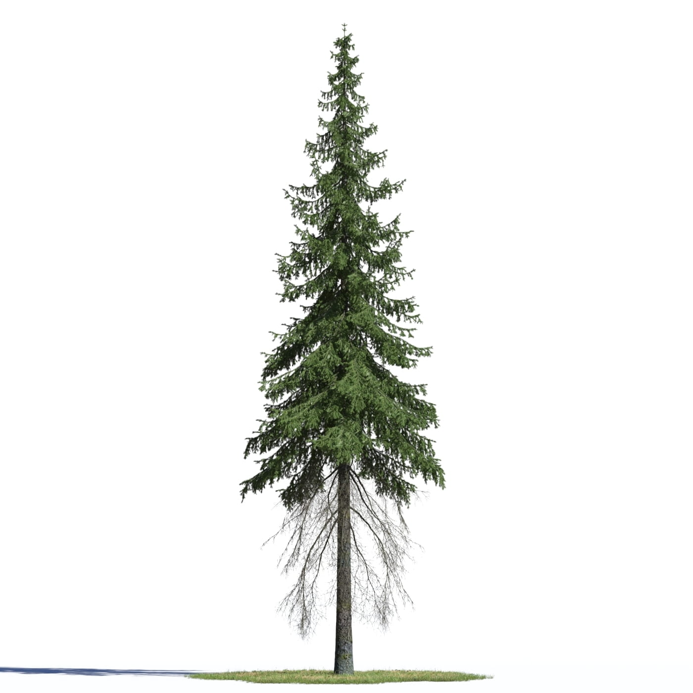 Picea abies 1 AM219 Archmodels
