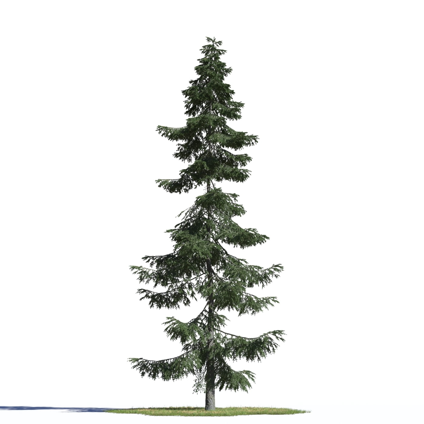 Picea omorika 3 AM219 Archmodels