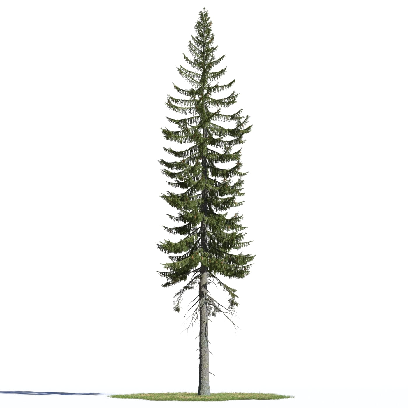 Picea englemannii 5 AM219 Archmodels