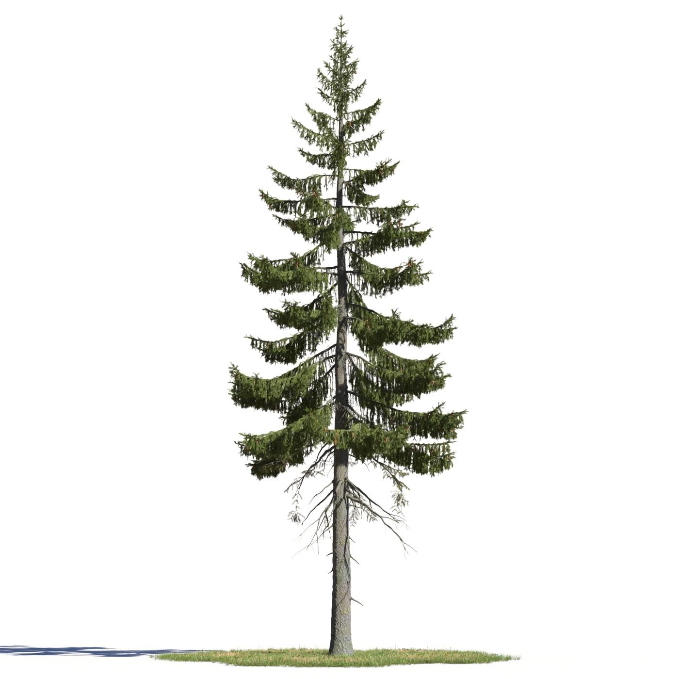 Picea englemannii 6 AM219 Archmodels