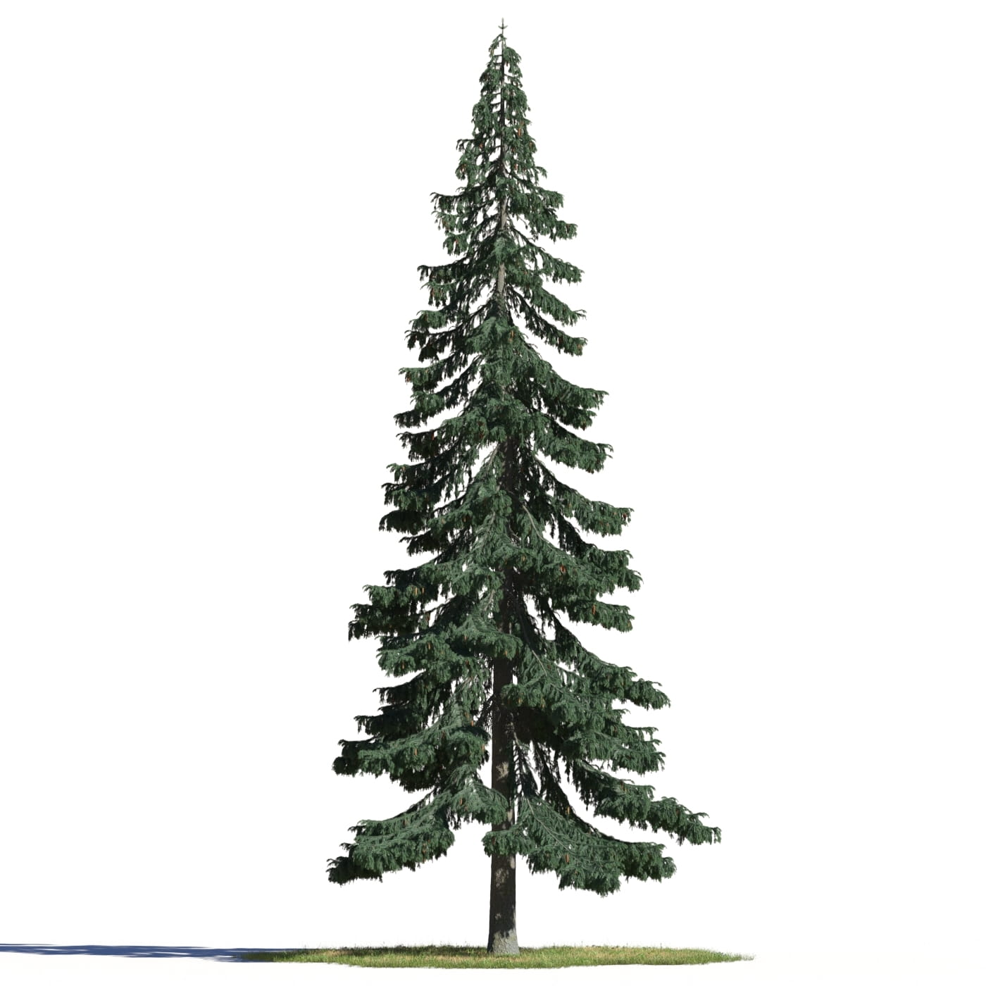 Picea pungens 7 AM219 Archmodels