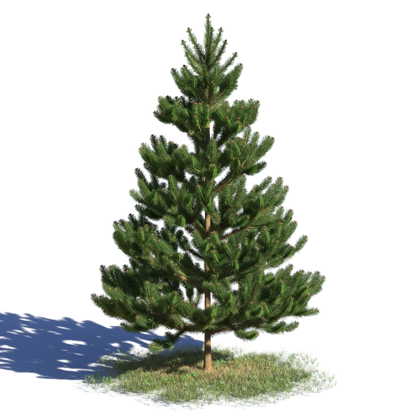 Picea abies 10 AM219 Archmodels