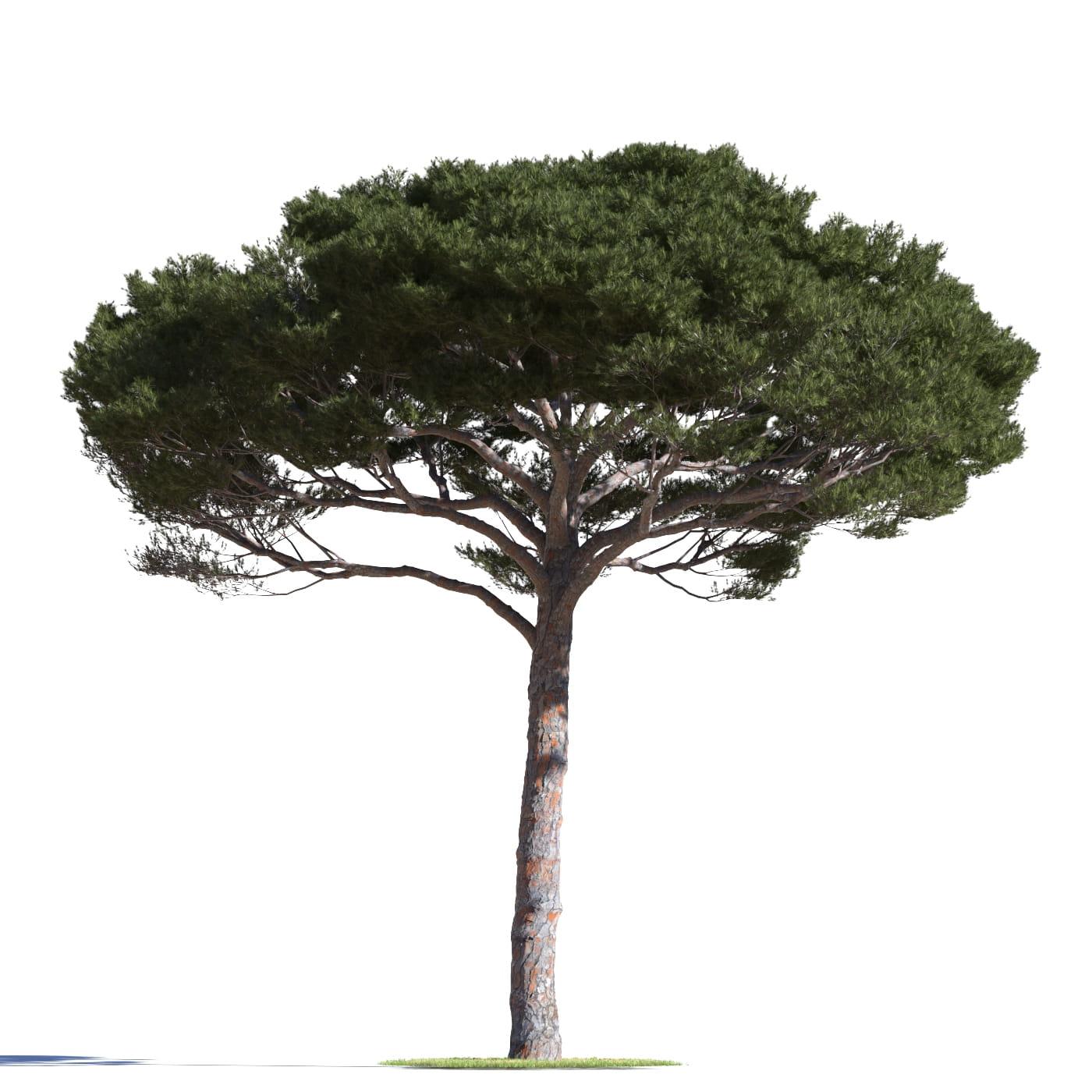 Pinus pinea 11 AM219 Archmodels