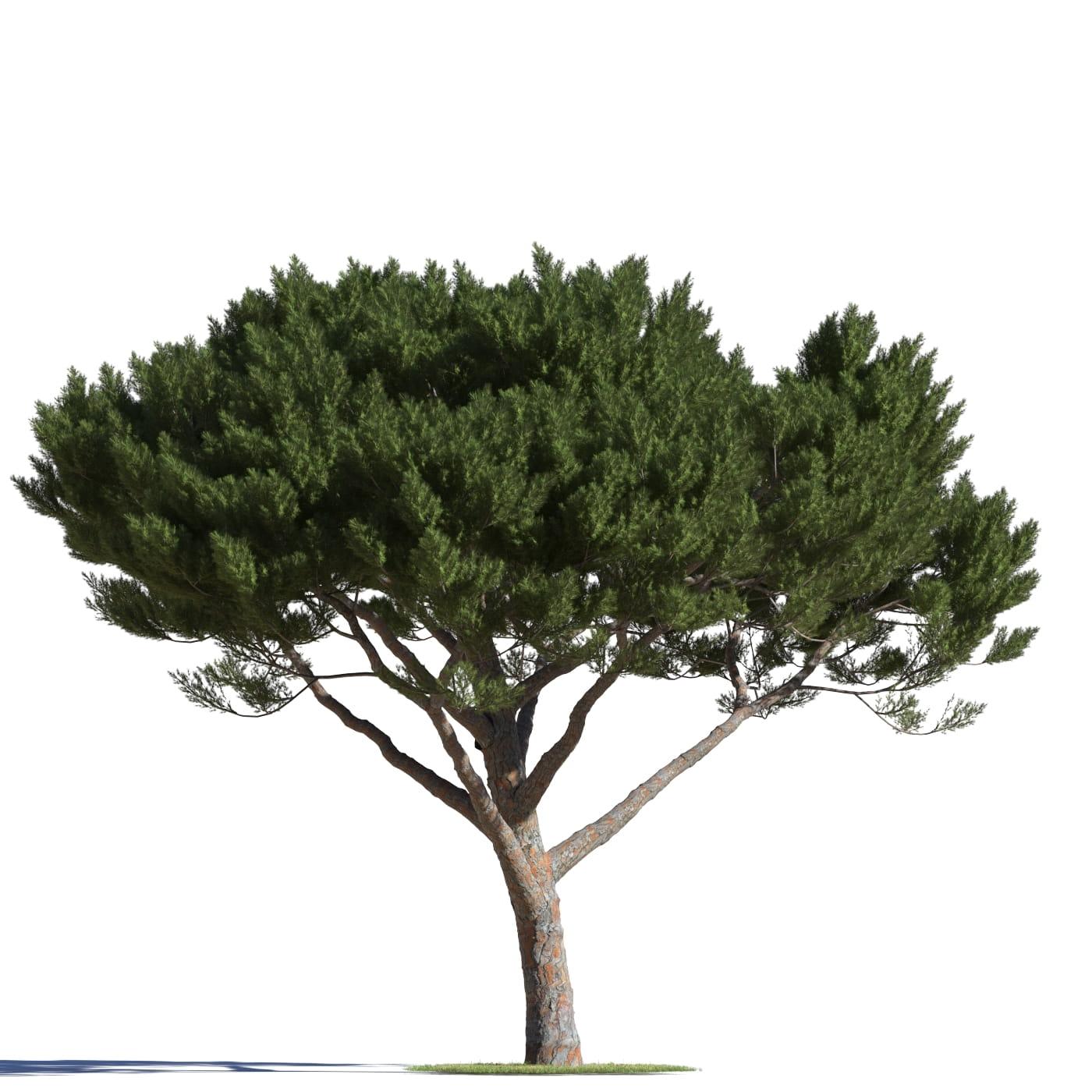 Pinus pinea 13 AM219 Archmodels