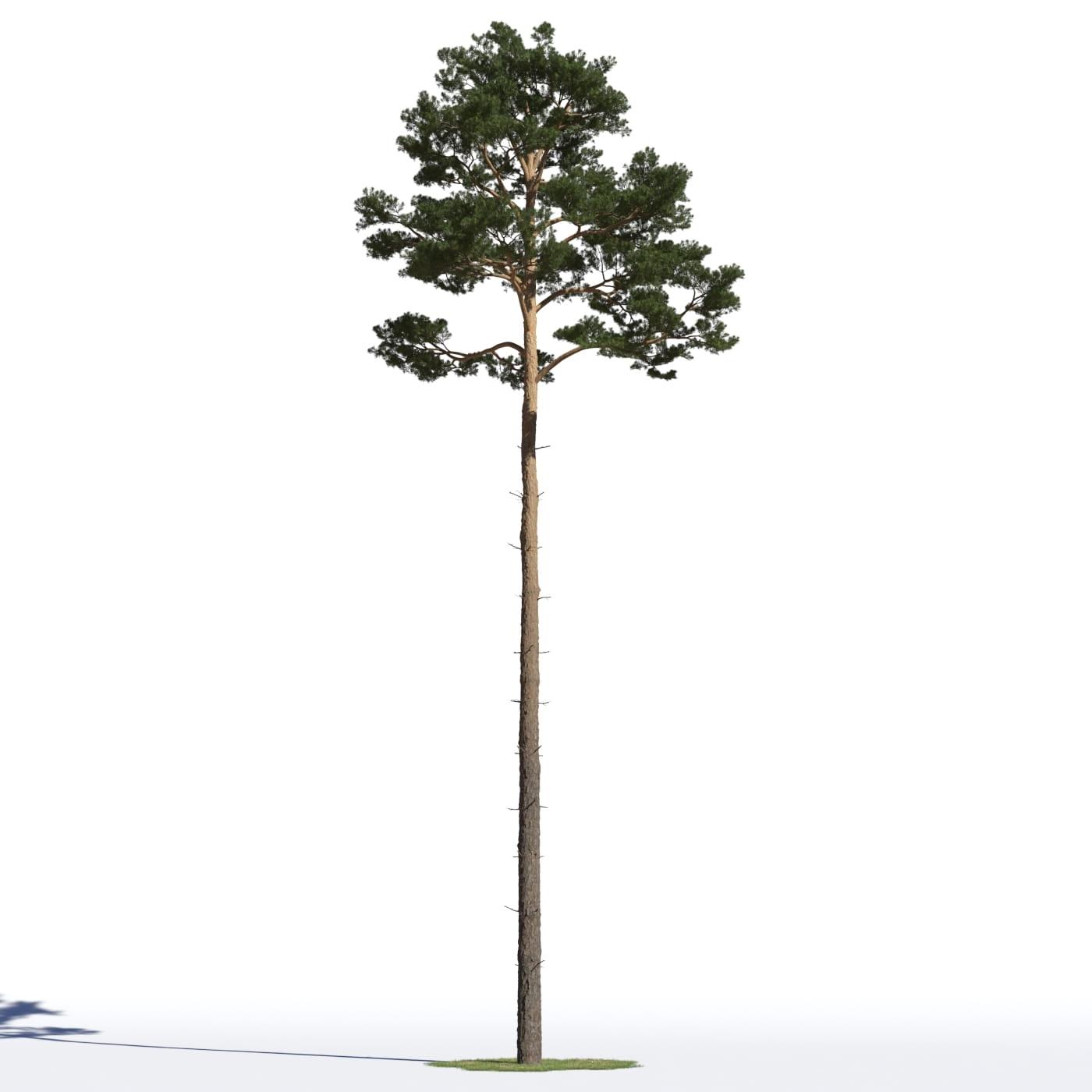 Pinus sylvestris 16 AM219 Archmodels