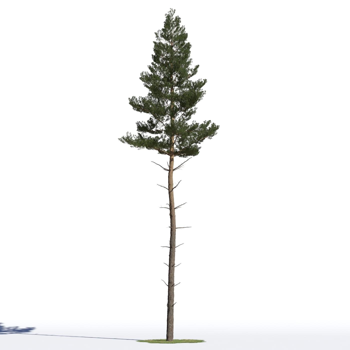 Pinus sylvestris 17 AM219 Archmodels
