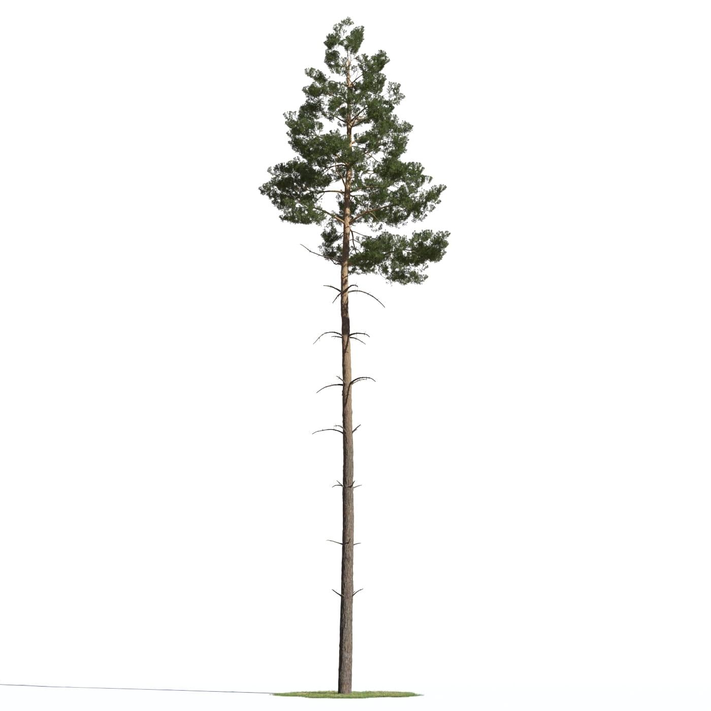 Pinus sylvestris 18 AM219 Archmodels