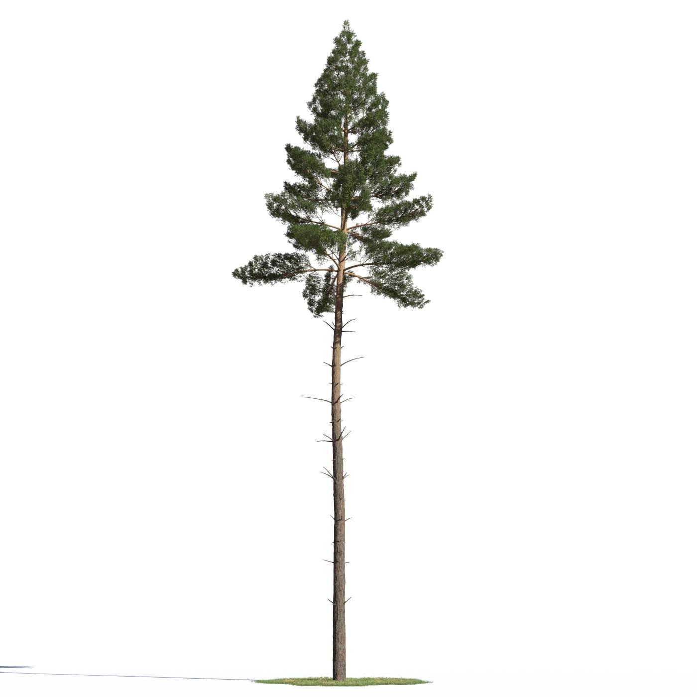 Pinus sylvestris 19 AM219 Archmodels