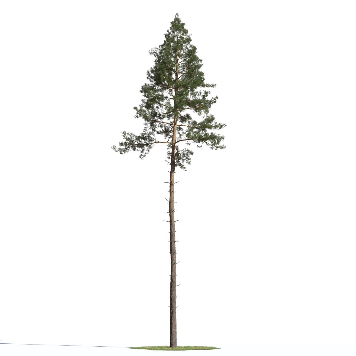 Pinus sylvestris 20 AM219 Archmodels