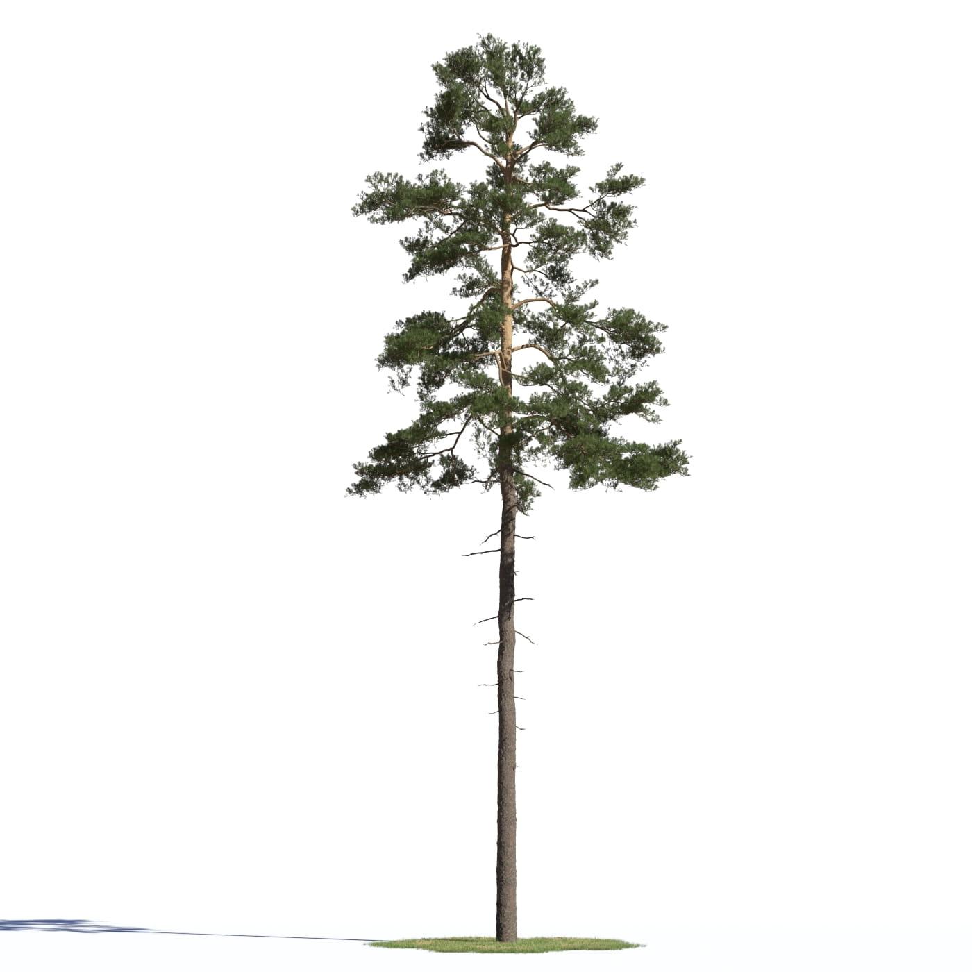 Pinus sylvestris 22 AM219 Archmodels