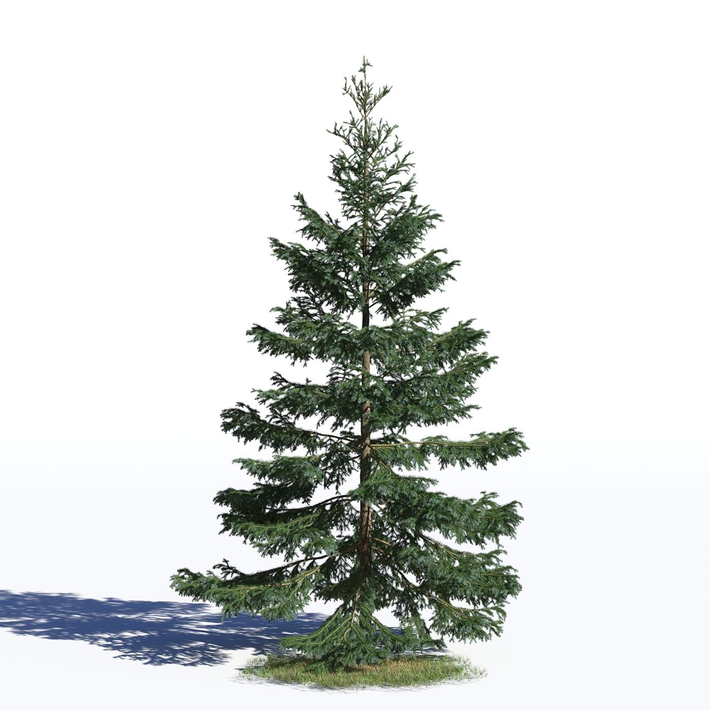 Picea omorika 23 AM219 Archmodels