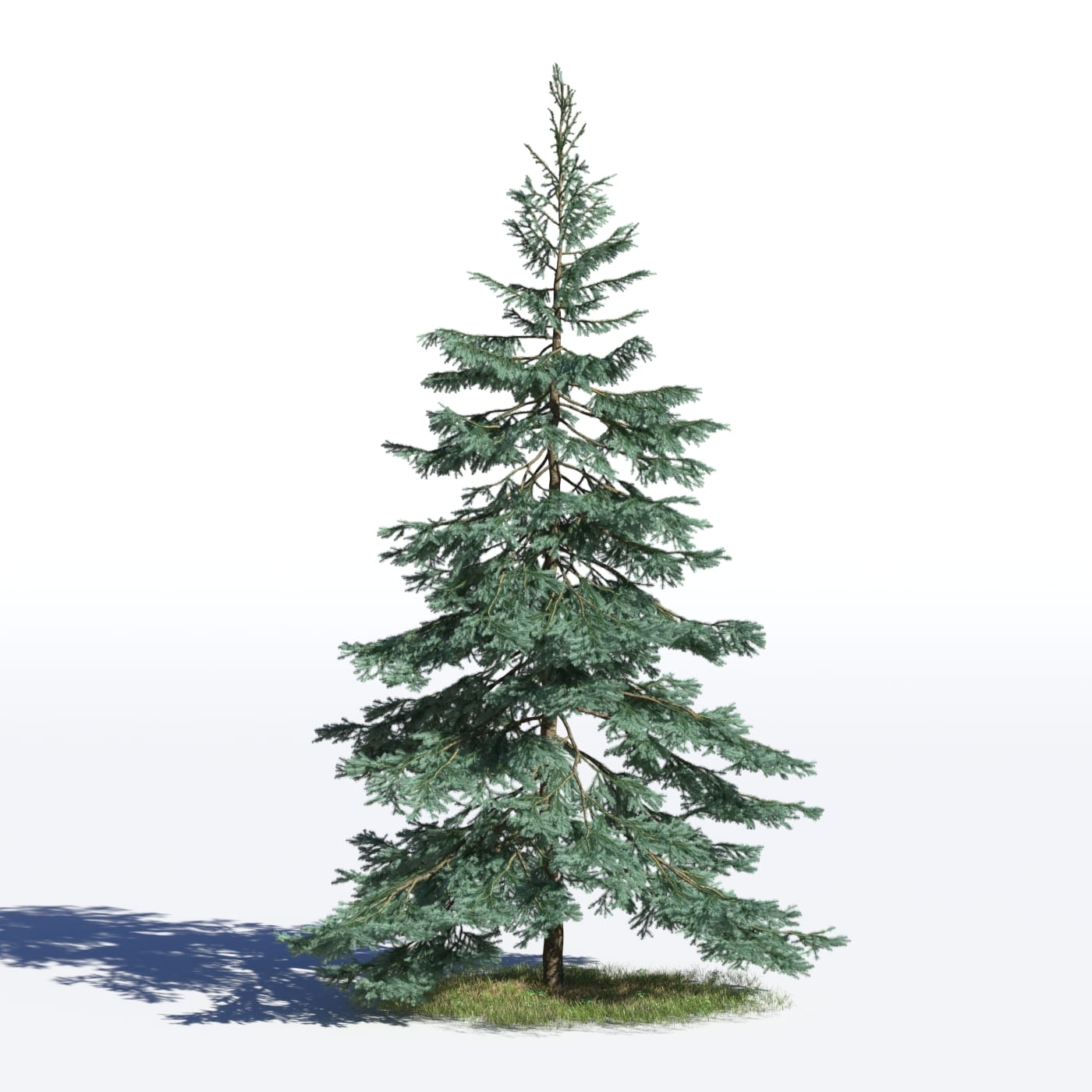 Picea pungens 24 AM219 Archmodels