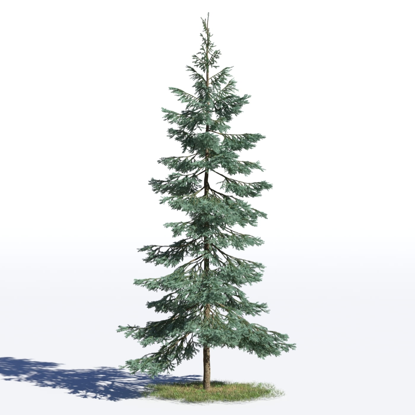 Picea pungens 25 AM219 Archmodels