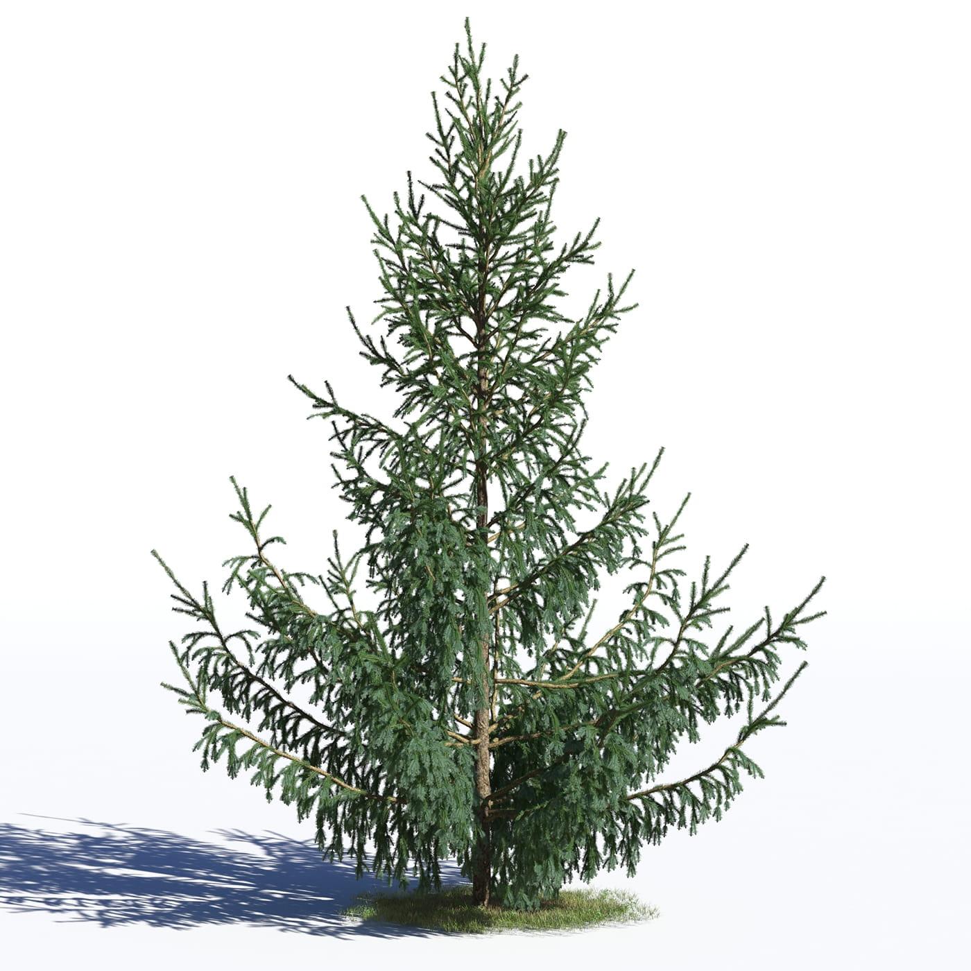 Picea glauca 26 AM219 Archmodels