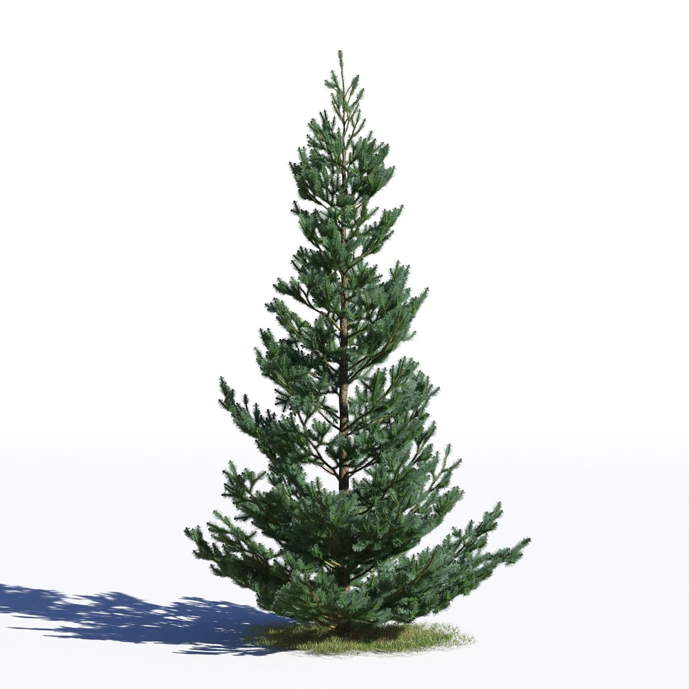 Picea omorika 28 AM219 Archmodels
