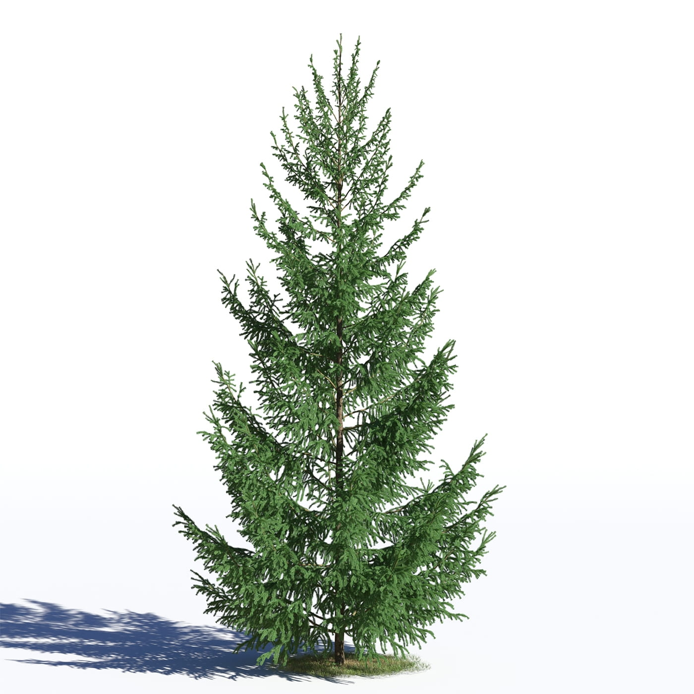 Picea abies 30 AM219 Archmodels