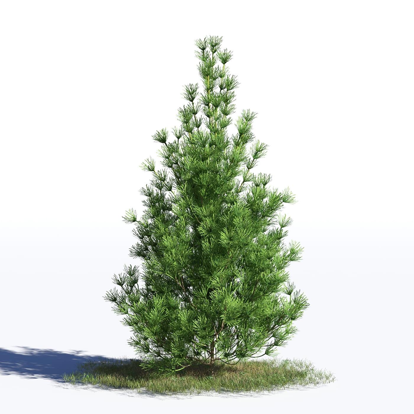 Pinus sylvestris 32 AM219 Archmodels