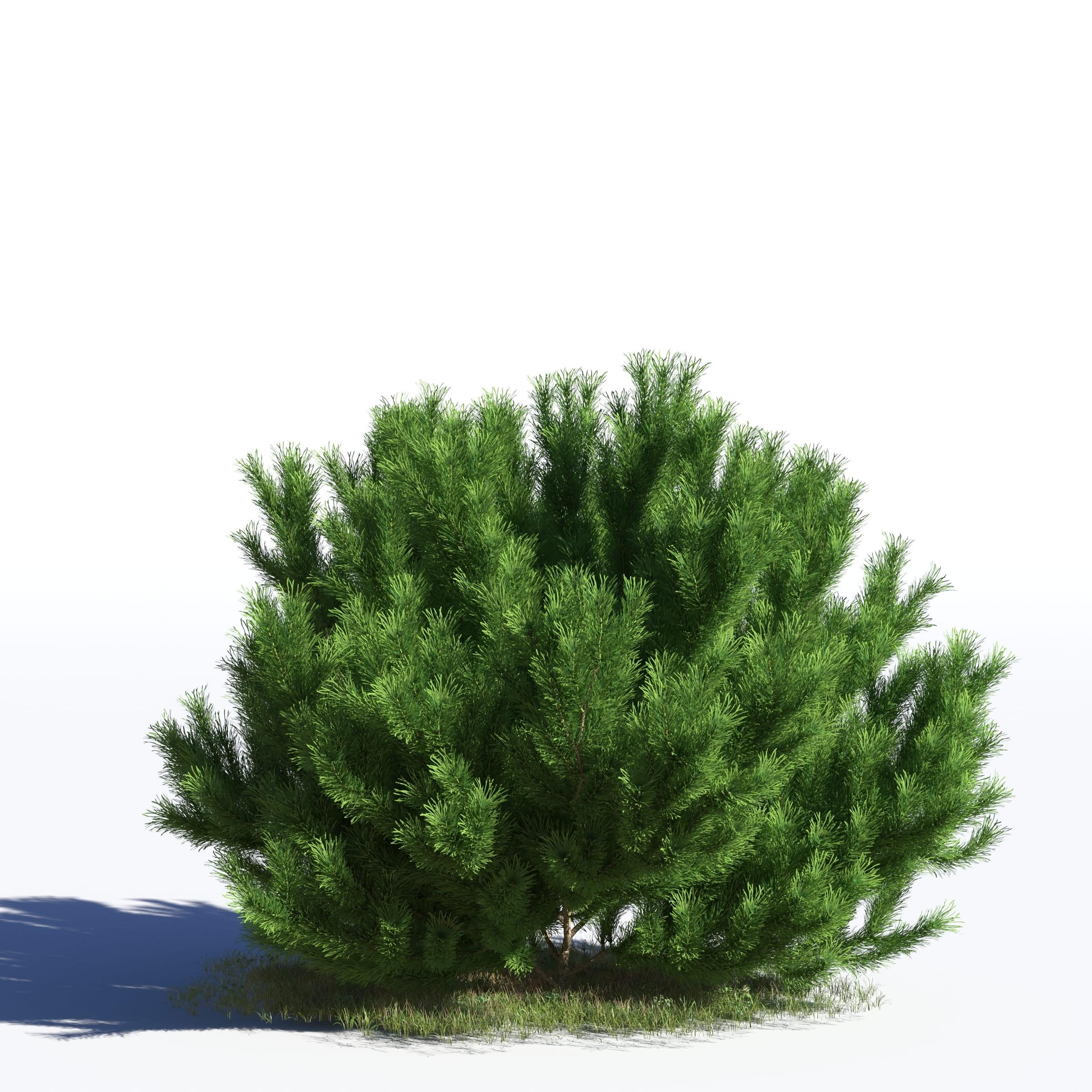 Pinus sylvestris 33 AM219 Archmodels