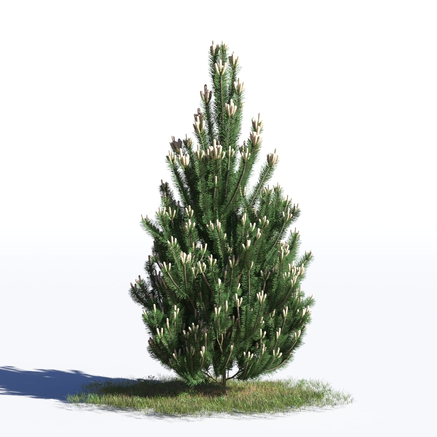 Pinus nigra 35 AM219 Archmodels