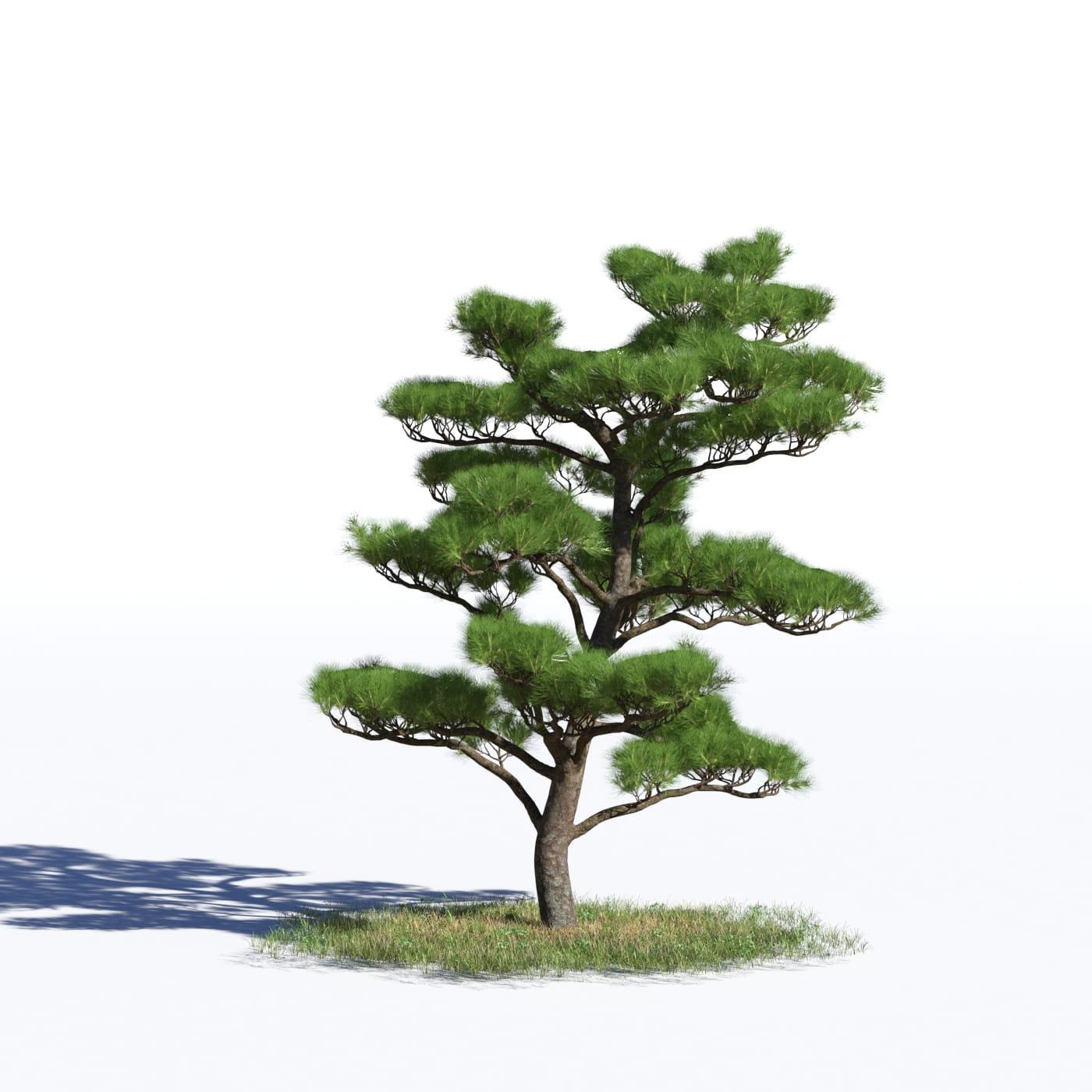 Pinus densiflora 38 AM219 Archmodels