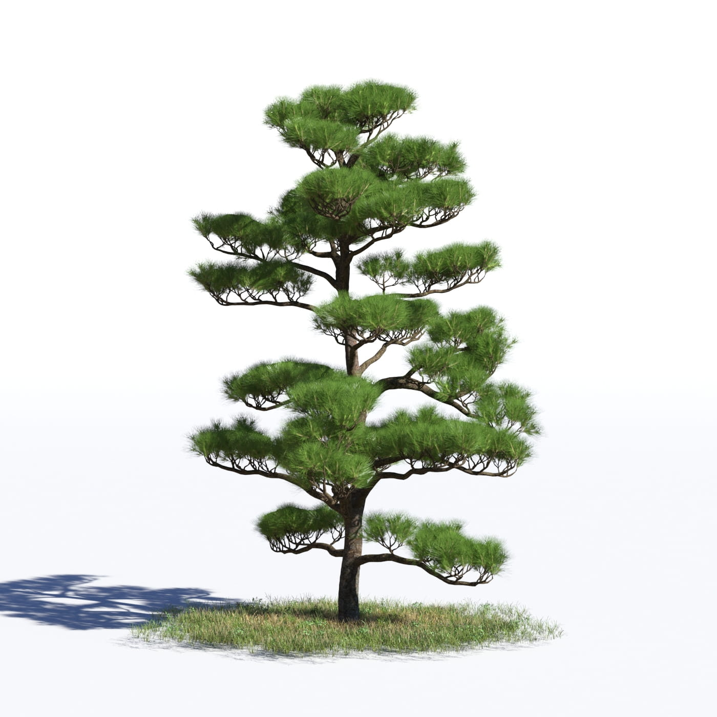 Pinus densiflora 39 AM219 Archmodels