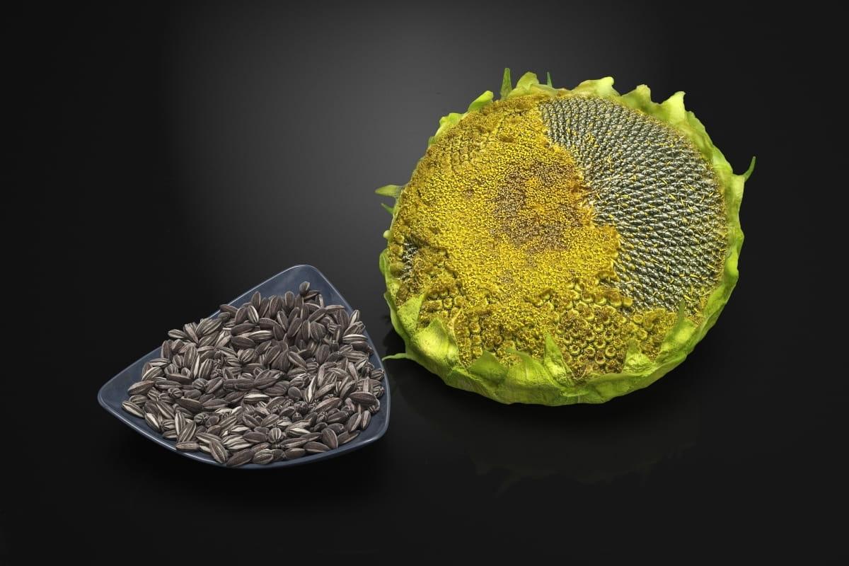 Sunflower 29 AM224 Archmodels