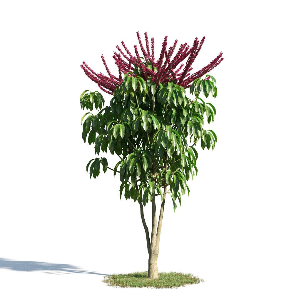 Schefflera actinophylla 54 am154