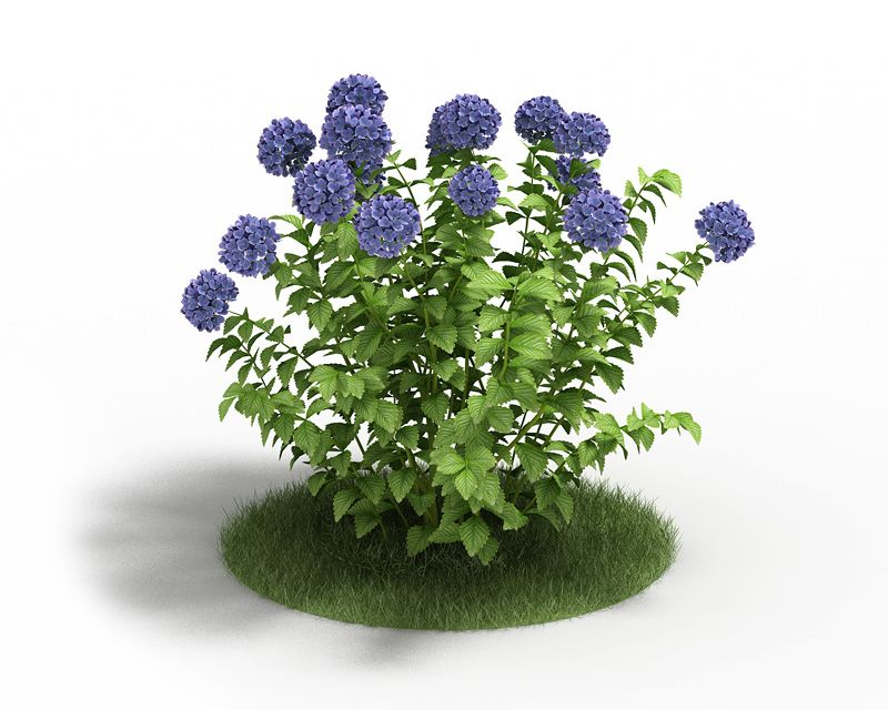 Hydrangea 12 AM3 for Cinema4D Archmodels