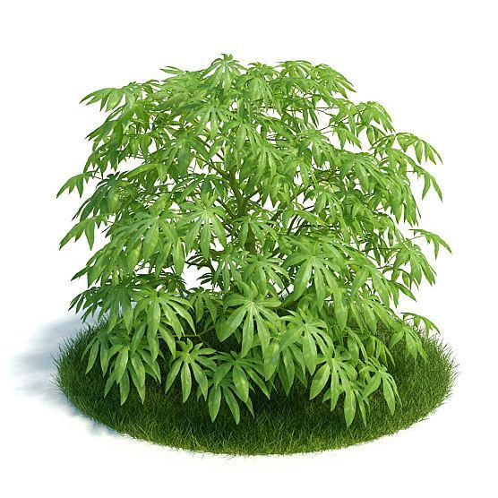 Fatsia Plant 10 AM61 Archmodels