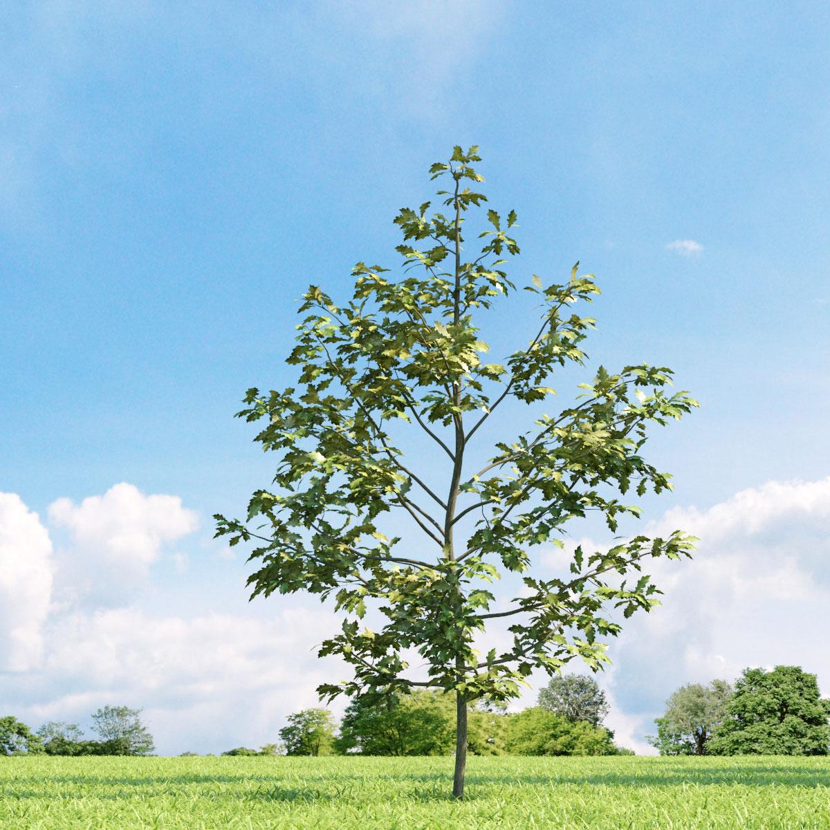 Quercus shumardii 19 v2 AM136 Archmodels