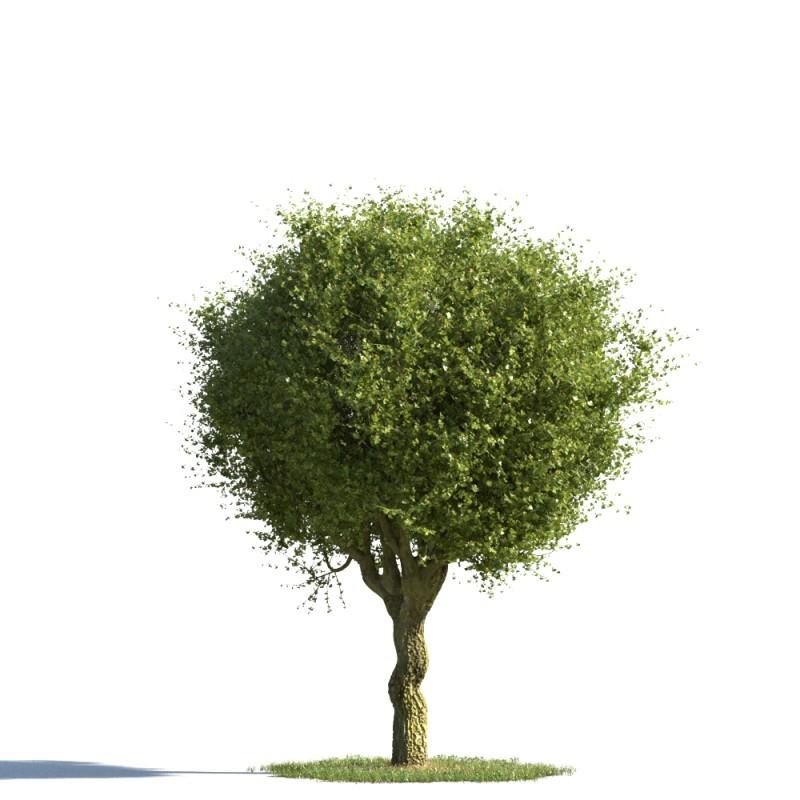 tree 51 AMC01