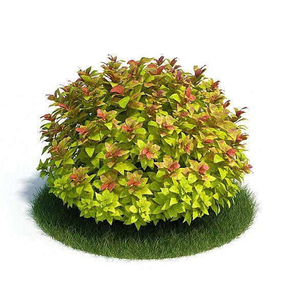 Spiraea Plant 26 AM61